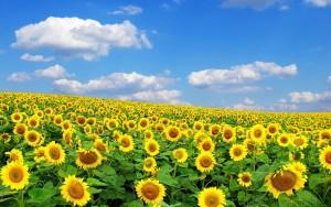 -zonnebloemen-